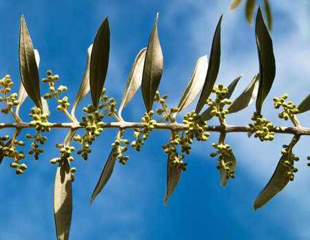 branch of young olive tree before flowering Stock Photo - 13999742