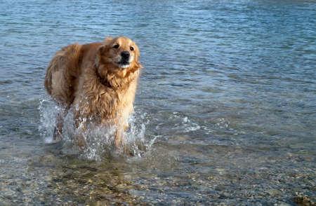 female golden retriever running in the water photo