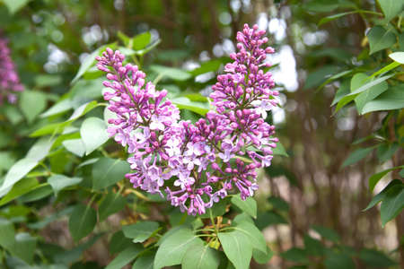 lilac tree starting flowering in garden - spring Stock Photo