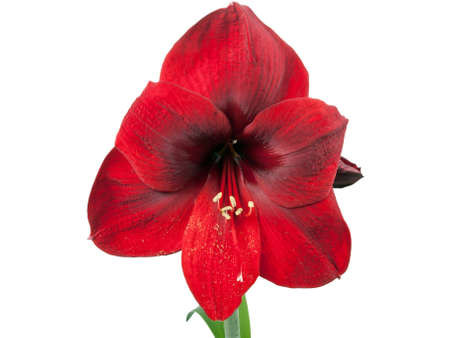 red amariyllis flower over white background photo