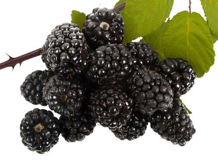 fresh blackberries isolated on white backgrounds