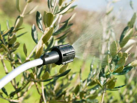 spraying olive trees in winter time Standard-Bild