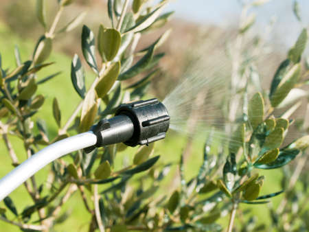 spraying olive trees in winter time Stock Photo
