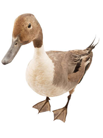 pintail isolated on white background Standard-Bild