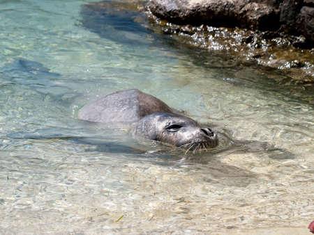 Mediterranean monk seal relax on sea shallows