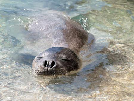 Mediterranean monk seal relax in sea shallows Standard-Bild