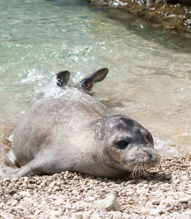 Mediterranean monk seal relax on sea shallows