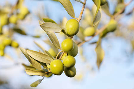 olive green: detail of fresh olive branch in autumn