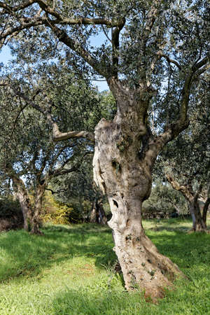 old ancient olive trees in olive garden