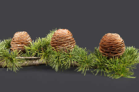 Pine tree branch and three cones, isolated, studio shot Standard-Bild