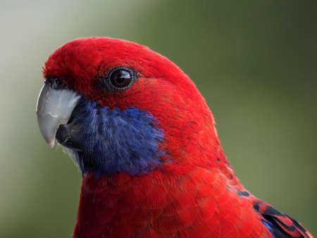 Crimson Rosella Closeup