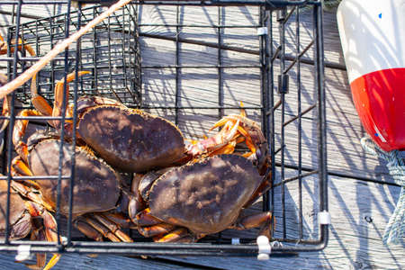 Looking down on three male Dungeness crabs in a crab trap sitting on a dock on the Sunshine Coast, British-Columbia