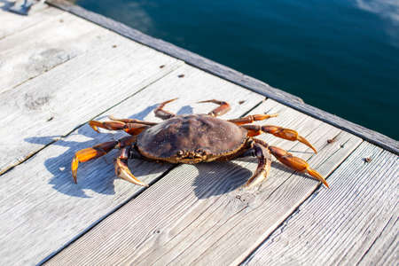A close up of a Dungeness Crab on a wharf on British Columbia's Sunshine Coast