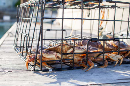 A close up of a male Dungeness crab in a trap on a wharf in Sechelt, British Columbia