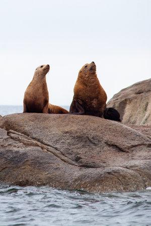 Two California sea Lions stand alert on a coastal rock off the Sunshine Coast of British-Columbia