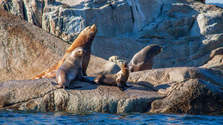 A young baby sea lion (pup) lets out a bark alongside other sea lions on a rocky haul out along British-Columbia's Sunshine Coast