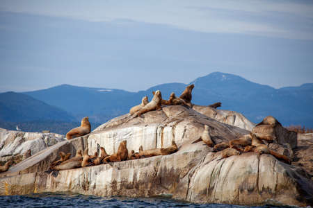 A large group of California Sea Lions on a rocky island (haulout) sit and sun themselves off British-Columbia's Sunshine Coast on the Pacific Ocean