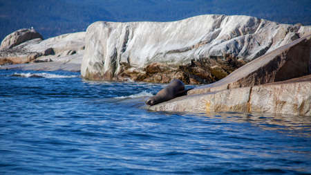 A California Sea Lion sits on the edge of a rocky haulout, about to dive into the Pacific Ocean off British-Columbia's Sunshine Coast Stock fotó