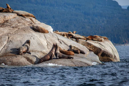 A Sea Lion shows aggression to another in a group of California Sea Lions sitting on a rock close to the Pacific Ocean guarding their territory off the Sunshine Coast of British Columbia.