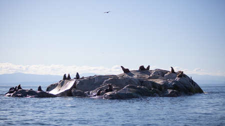 A view of a group of California Sea Lions sunning themselves on a rock haulout, outside of Sechelt, British-Columbia, on the Sunshine Coast. Stock fotó