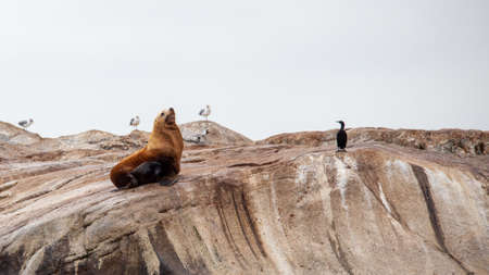 A large California Sea Lions stands guarding a large coastal rock off the Sunshine Coast of British-Columbia, surrounded by sea gulls and birds Stock fotó