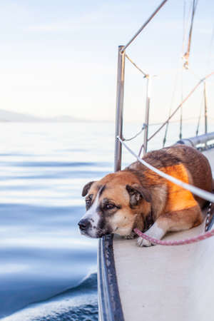 A Husky St Bernard Mix dog lays down on the side of a sailboat at sunset in British-Columbia's Sunshine Coast while sailing into the harbor