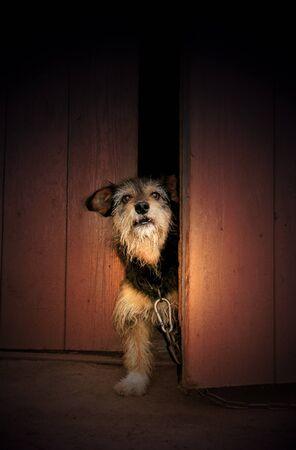 perro furioso: Perro enojado en una cadena de mira por la puerta