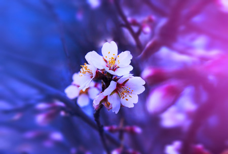 Spring fantastic blooming flowers stand out on a branch. Dramatic background, dark blue and pink tint.