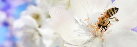 membrillo: Bee collects nectar (pollen) from the white flowers of a flowering quince (Cydonia oblonga) on a  blurred background of nature and sky, a banner for the site. Panorama. Blurred space for text. Skinali.
