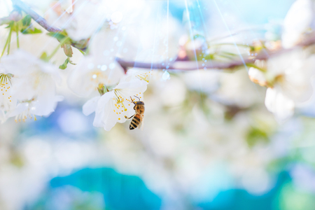 Spring. Bee collects nectar (pollen) from the white flowers of a flowering cherry on a blurred background of nature and blue sky. Fantastic lights of a sun. Blurred space for text. 版權商用圖片
