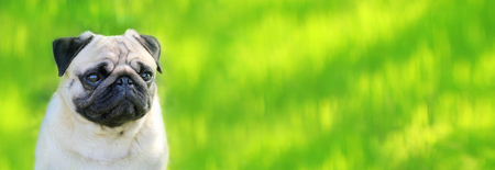 Pug dog portrait purebred isolated on a blurred background of green grass, a banner for the site. Panorama. Blurred space for text. Skinali. Horizontal