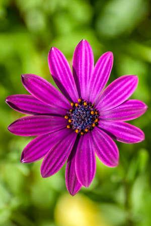 Purple flower 版權商用圖片
