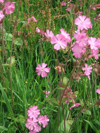 Pink campion flowers stock photo picture and royalty free image pink campion flowers stock photo 4313343 mightylinksfo