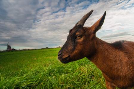 Portrait of a brown goat on a green meadow against beautiful sky