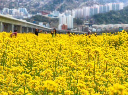 Yuchae Canola Flower Festival in Daejeo Ecological Park, Busan, South Korea, Asia