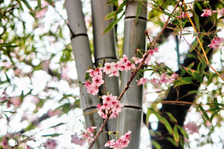 Cheery Blossom Blooming in Baehwa School in Busan, South Korea, Asia.