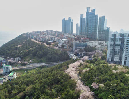 Aerial View of Cherry Brossoms Blooming in Dalmaji Hill, Haeundae, Busan, South Korea, Asia.