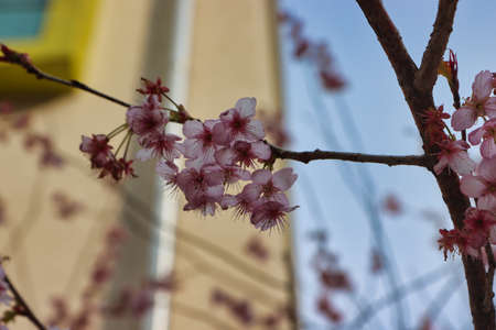 Cheery blossom blooming in Baehwa School in Busan, South Korea, Asia