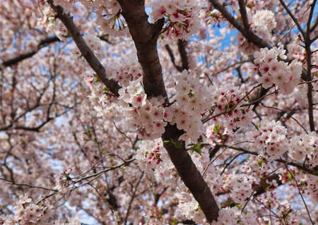 Cherry blossom blooming in gyeonghwa train station in jinhae, Changwon, Gyeongnam, South Korea, Asia