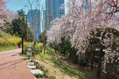 Cheery blossom blooming in haeundae, Busan, South Korea, Asia