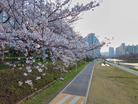Cherry blossom Blooming in Oncheoncheon Stream, Busan, South Korea, Asia. Фото со стока