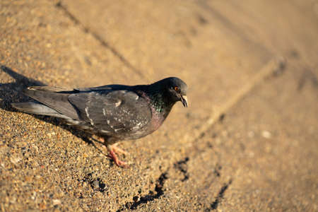Pigeon standing peacefully on concrete mixed with gravel tiles overlooking surrounding and enjoying warm sun on warm sunny day art