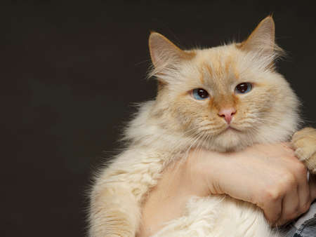 beige cat hold his hands so he could not escape Imagens
