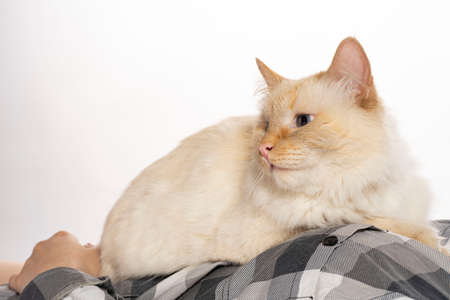 beige oblique cat sits on his hands and looks art