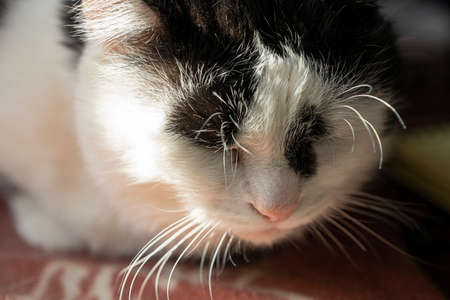 Black and white sleeping cat, a large portrait Stockfoto