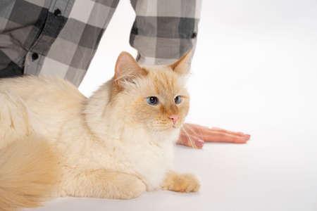 European cat sitting, art on white background