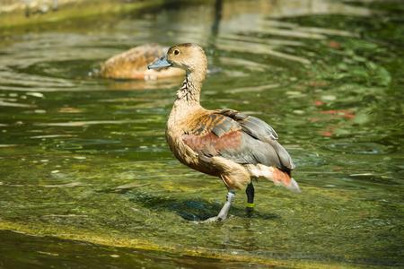 lesser: The lesser whistling duck (Dendrocygna javanica)