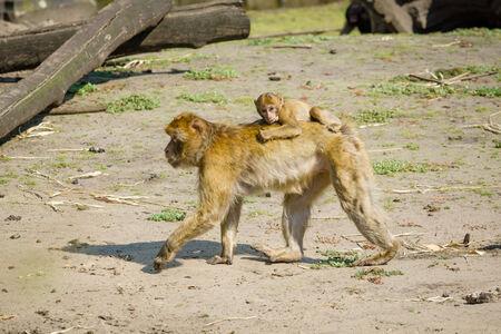 barbary ape: The Barbary macaque (Macaca sylvanus