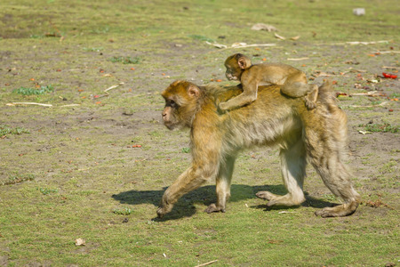 sylvanus: The Barbary macaque (Macaca sylvanus