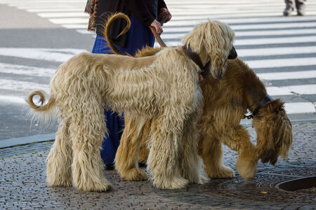 hounds: Two Afghan hounds on a leash. Walk in the city.